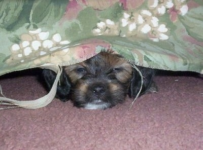 A white with black and tan Jack-A-Poo puppy is laying under a bed on a pink carpet. It has a sheet over top of its head