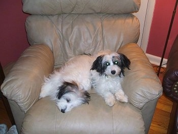Two Jack-A-Poo puppies are laying in a tan recliner. One is laying on its side and the other is sitting up next to it