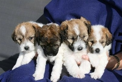Litter of Jackie-Bichon Puppies, these are the males of the litter