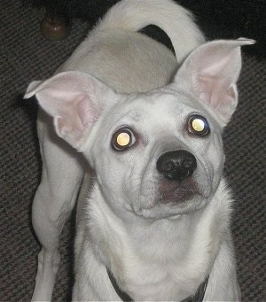 Close Up - A pure white Jack-Rat Terrier is standing on a carpet and looking up