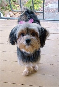 A black with tan Jarkie dog is standing on a wooden porch wearing a pink ribbon the top of her head.