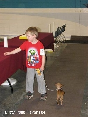 A boy in a red shirt is touching a table to the left of him. A Chihuahua is to the right of the boy and it is looking at the boy.