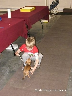 A boy in a red shirt is reaching down to touch a Chihuahua that is in front of him.