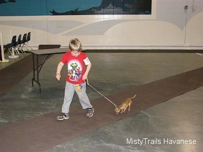 A boy in a red shirt is leading a Chihuahua on a walk down a long rug.