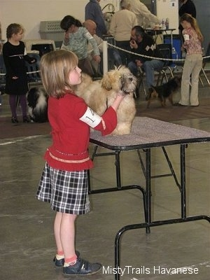 A girl in a red shirt is standing behind a table and she is helping pose a tan dog who is up on the table at a dog show.