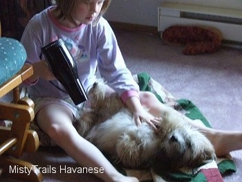 A girl is blow drying the underside of a tan with white Havanese puppy with a hair dryer.