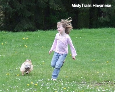 A little girl in a pink shirt is running away from a tan with white Havanese puppy that is chasing after her in a field of grass.