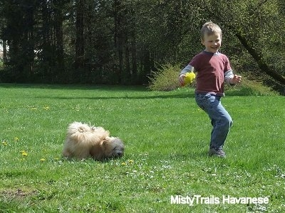 A small boy with a yellow plush toy in his hand is running away from a tan with white Havanese puppy that is sniffing across the field.