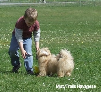 A boy is reaching down to grab a yellow plush toy that is on the ground in front of a tan with white Havanese puppy in a field.