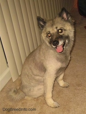A shaved Keeshond is sitting on a tan carpet in front of a sliding glass door that has tan blinds.