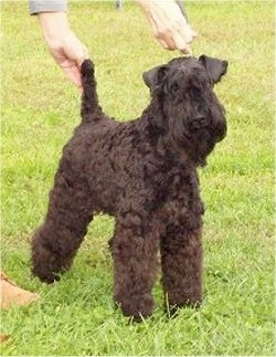A black Kerry Blue Terrier is standing in grass with a person posing the dog in a show stack.