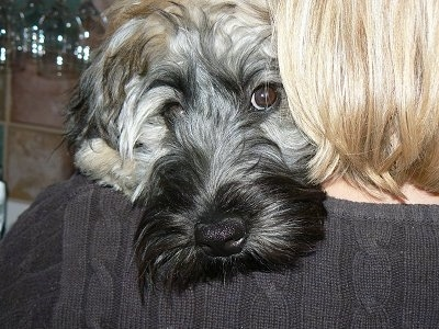 Close Up head shot - A tan and black Kerry Wheaten dog with his head over the shoulder of a lady with blonde hair