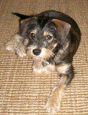 A wiry looking black and tan with white King Schnauzer is laying on a tan carpet and looking up
