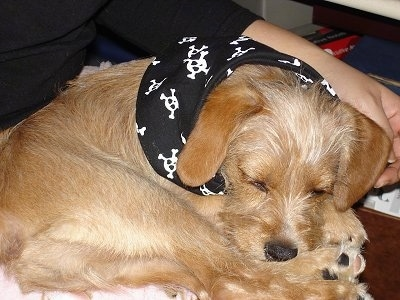 Close Up - A tan with white King Schnauzer is wearing a black bandana with skulls all over it while sleeping in the lap of a person.