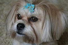 Bella, the La Pom (Lhasa Apso  Pomeranian hybrid) at 2� years old