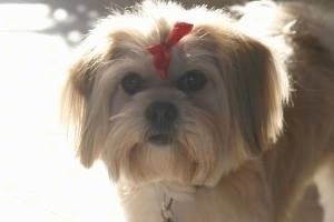 Close Up upper body shot - A tan with white La Pom is wearing a red ribbon in its top knot standing outside on concrete