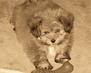 A Sepia toned photo of a La Pom puppy laying on a carpet with a rubber bone in front of it