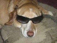 A yellow with white Labbe is laying on a couch cushion and wearing a pair of black sunglasses