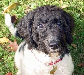 Close Up upper body shot - A wavy, black and white Labradoodle is wearing a red collar sitting in grass and looking up