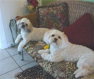 Two white with tan Lhasa Apso dogs are laying on a brown wicker couch with pillows behind them on a white tiled floor and looking back. Both of their heads are slightly tilted to the right.