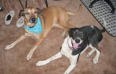 Rhodesian Ridgeback Mix finds happiness with Greyhound Mix