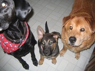 View from the top looking down of three dogs in a row on a white tiled floor - frrom right to left, a tan and red Great Dane/Labrador mix is standing on a tiled floor next to a brown with tan German Shepherd/Akita mix puppy that is sitting. Next to the puppy is a standing black Labrador/Chow Chow mix that is wearing a red bandana.