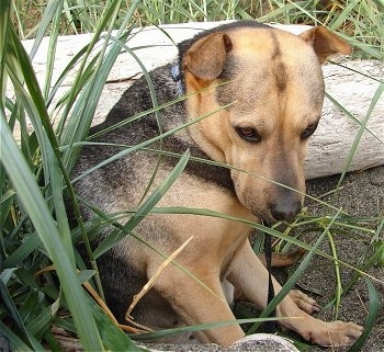 Side view - A small-rose-eared, large breed, black with tan Shar Pei/German Shepherd is sitting in dirt that is surrounded by tall grass and ther is a log behind it. It is looking down.