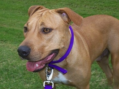Close Up view from the front side - A tan with white Labrador/Pitbull mix is wearing a purple collar standing in grass and it is looking to the left. Its mouth is open and tongue is slightly out.