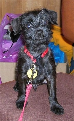 A wiry looking, black Miniature Schnauzer mix is wearing a red collar and leash sitting on a chair looking forward. There are cardboard boxes with things in them behind the dog.