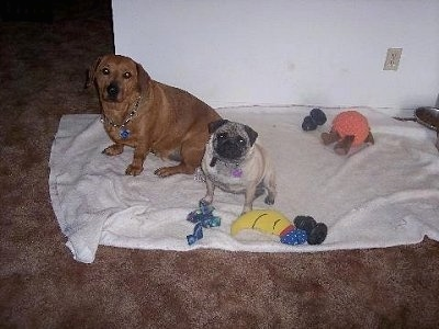 Frodo the Dachsweiler and Ladybug the Pug are sitting next to each other on a blanket surrounded by their toys. There is a food bowl on a carpet next to them