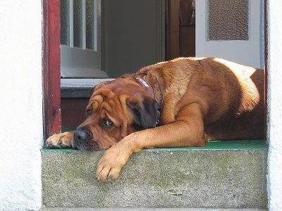 Side view upper body shot - A brown with black Rottweiler/Italian Mastiff mix breed dog is laying down in a doorway. It has a lot of wrinkles on hits head and extra skin around its shoulder.