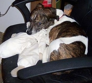 A medium-sized, brown brindle and white mixed breed dog is laying on a black computer chair with its head on a white, infant sized snow suit.