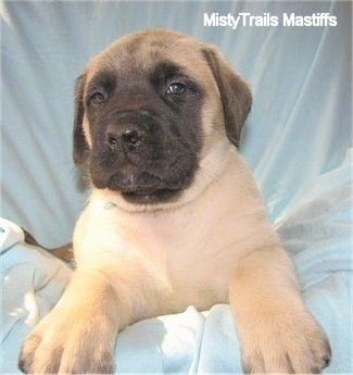 Aquamarine (Daisy) the female Mastiff puppy at 6 weeks old weighing 12.6 pounds - Courtesy of MistyTrails Mastiff's