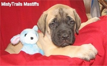 Jaq Jaq the male Mastiff puppy at 6 weeks old weighing 14 pounds - Courtesy of MistyTrails Mastiff's