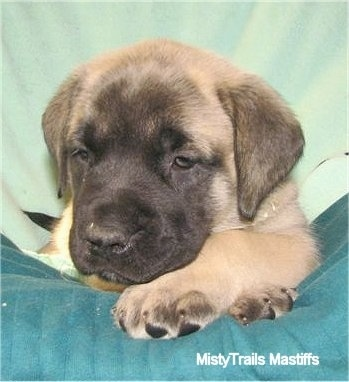 Lady the female Mastiff puppy at 6 weeks old weighing 11.2 pounds - Courtesy of MistyTrails Mastiff's