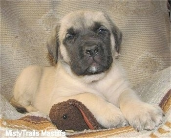 Lilo, the female Mastiff puppy at 6 weeks old weighing 10.9 pounds - Courtesy of MistyTrails Mastiff's