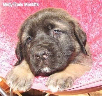 Minnie the female Mastiff puppy at 6 weeks old weighing 13 pounds. Minnie has a longer softer coat - Courtesy of MistyTrails Mastiff's