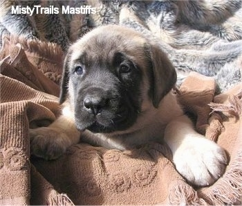 Thumbelina, the female Mastiff puppy at 6 weeks old weighing 11.5 pounds. Thumbelina's a little lover  - Courtesy of MistyTrails Mastiff's