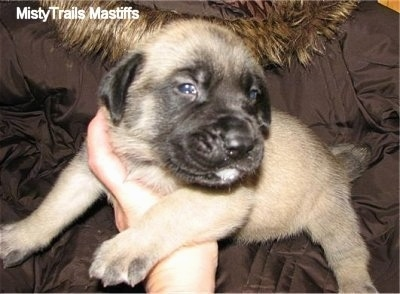 Thumbelina, the female Mastiff puppy at 3 weeks old - Courtesy of MistyTrails Mastiff's