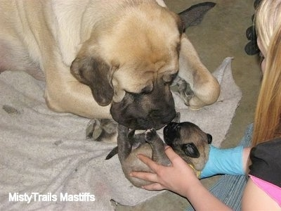 Sassy the English Mastiff sniffing a puppy