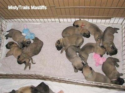 English Mastiff Puppies on Sassy The English Mastiff Puppies 10 Days Old