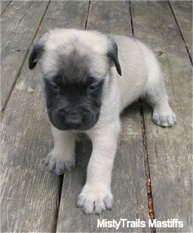 Thumbelina, the female Mastiff puppy at 5 weeks old - Courtesy of MistyTrails Mastiff's