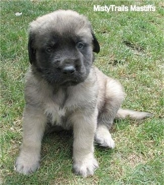 Zak the fluffy male Mastiff puppy at 5 weeks old - Courtesy of MistyTrails Mastiff's
