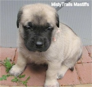 Lilo, the female Mastiff puppy at 5 weeks old  - Courtesy of MistyTrails Mastiff's
