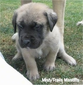 Alice the female Mastiff puppy at 5 weeks old - Courtesy of MistyTrails Mastiff's