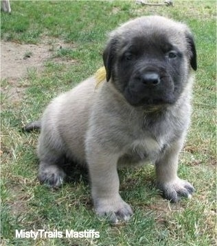 Gus Gus the male Mastiff puppy at 5 weeks old - Courtesy of MistyTrails Mastiff's