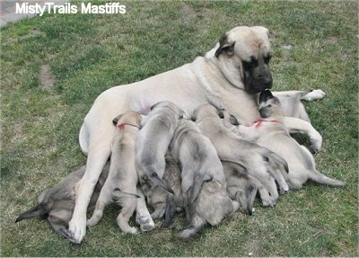A tan with black English Mastiff is laying on its side in grass with a large litter of puppies who are nursing.
