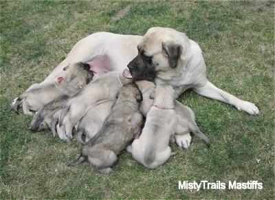 Sassy the English Mastiff and the puppies laying in the middle of a lawn