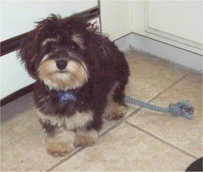 A longhaired black with tan and white Mauxie is standing on a tan tiled floor in a corner with a gray rope toy behind it.