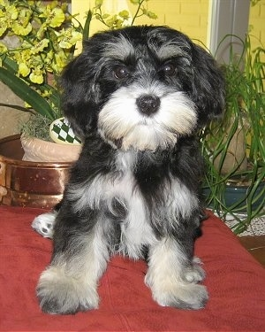 Mauzer Dog Breed Information And Pictures